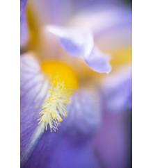 Iris, in volo