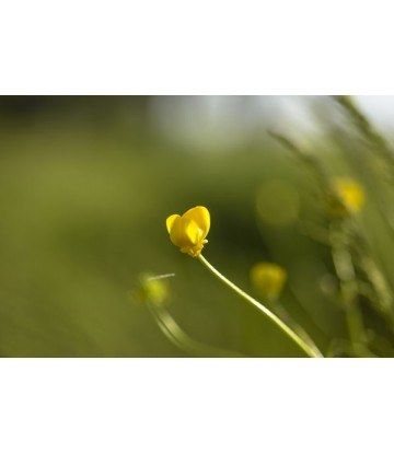 https://www.livinart.it/1367-thickbox_default/buttercups.jpg