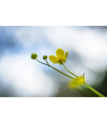 https://www.livinart.it/1368-thickbox_default/buttercups-2.jpg
